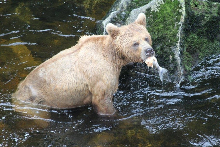 This Brown Bear engulfed this salmon on one of our hikes in Southeast Alaska