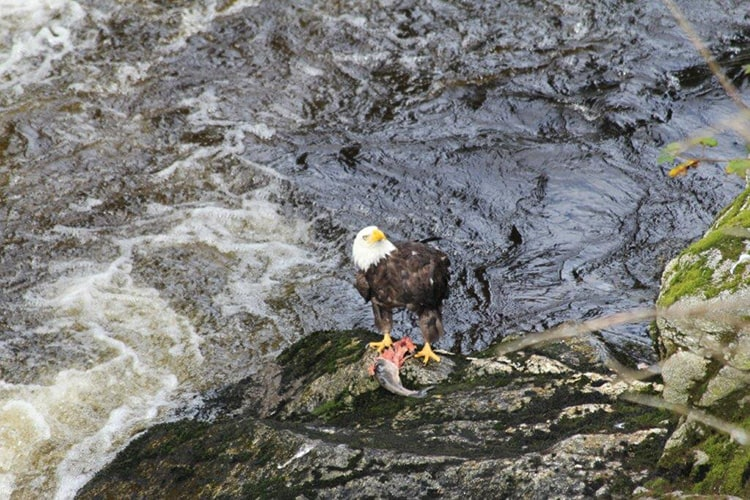 This Bald Eagle has a fresh caught salmon sighted on one of our wilderness hikes in Alaska