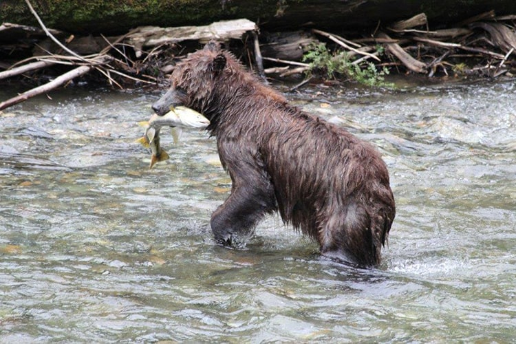 On Admiralty Island Brown Bears have a dark brown rather than a blonde coat primarily attributed to their diets
