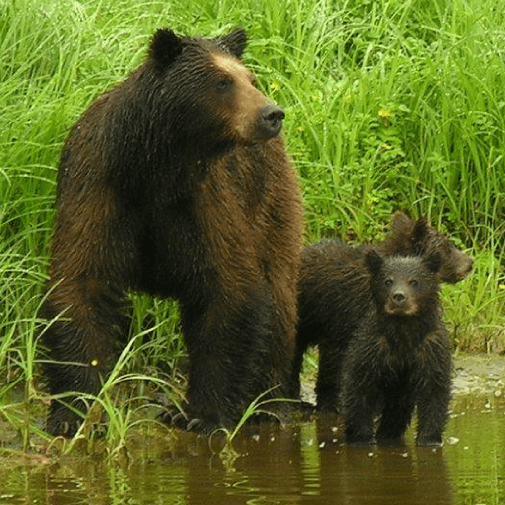 Guided Bear viewing shore excursions are part of all our Alaska Small Ship Cruises