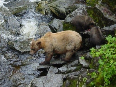 Her Cubs are busy eating now it Mom's turn to catch a fish