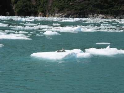 The Harbor seals will try and find refuge from the Orca whales on the ice flows near the Glaciers