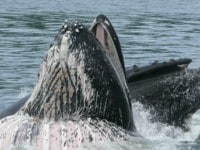 Humpbacks will also lunge feed for krill an our almost a daily encounter on our Alaska Expedition Small Ship Cruises