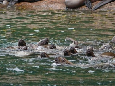 a gaggle of Sea Lions pays us a visit on one of our Alaskan Wildlife Expedition Cruises