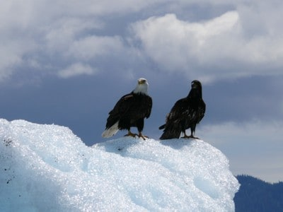 It is fairly common to see Bald Eagles sitting on Ice Bergs I wonder why their feet don't get cold