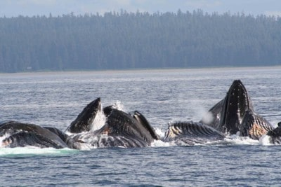 The Humpbacks are feeding on herring and small bait fish a unique collaborative technique. We will try to share the unusual activity with our guests on our Alaska Small Ship Cruises