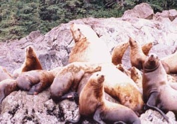 We will visit a Stellar Sea Lion Rookery on all our Alaska Small Ship Inside Passage Cruises