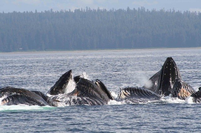 Providing wildlife, natural history and fishing expedition style cruises in Alaska since 1981 we know where these gentle giants like to hide