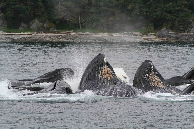 Group Cooperative Feeding Humpback Whales are always a highlight on our Alaska cruises