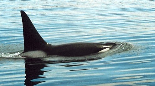 Although their knickname is killer whale these Orca whales are quite docile and are always one of the highlights on our Alaska small ship cruises